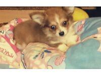 10 week boy puppy chiwawa
