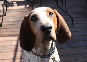 """Young Male Dog - English Coonhound: """"Eddie"""""""