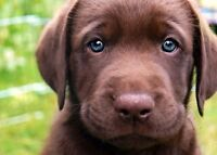 looking for a female chocolate lab puppy!
