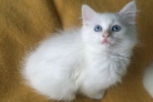Beautiful white Persian Kittens