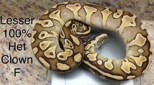 Clown Project Ball Pythons Lesser,Pastel,Pinstripe FREE Het Male