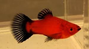 RED WAGTAIL PLATY - PEACEFUL - TROPICAL FISH