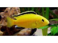 *L@@K* STUNNING MALAWI CICHLID's* 6 TYPES OF HAP's, PEACOCK's & MBUNA* TROPICAL FISH TANK, AQUARIUM*