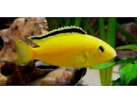 *L@@K* MALAWI CICHLID's* HAP's & PEACOCKS* TROPICAL FISH TANK AQUARIUM*