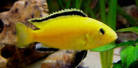 Yellow Electric Cichlids for sale