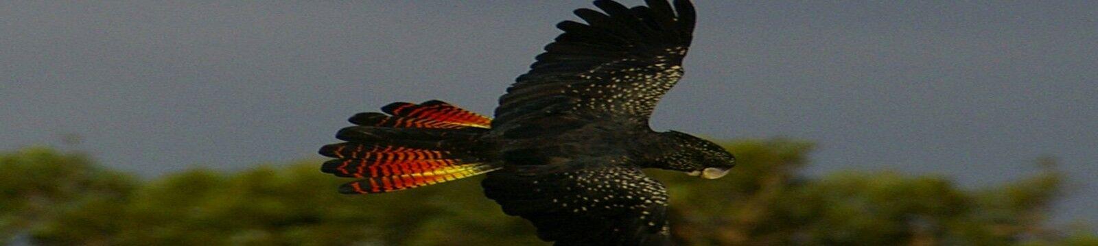 Red Tail Australia
