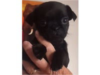 Three quarter pug puppies**1 black boy left