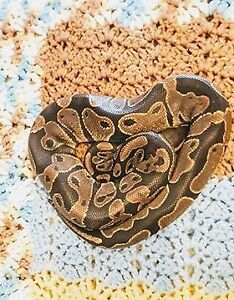 Male Ball Python looking for a new home