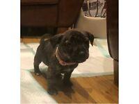 Staffy / Yorkie cross pups