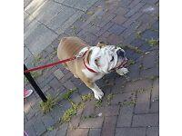 British bulldog girl