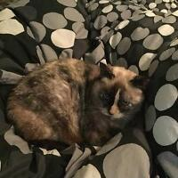 """Adult Female Cat - Domestic Short Hair-Siamese: """"Lily"""""""