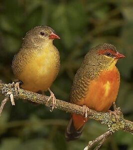 Gold breasted waxbill finches