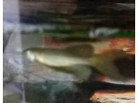 5 long fin cold water fish (free)