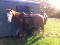 Registered 16 year old paint mare