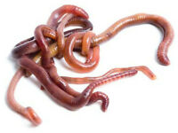 Worms for sale