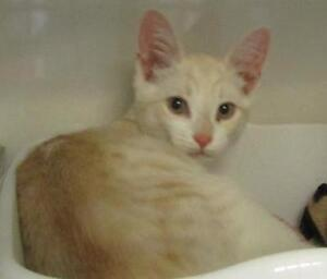 "Young Male Cat - Domestic Short Hair: ""Mickey"""
