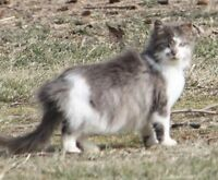 """Adult Female Cat - Domestic Long Hair - gray and white: """"Belle"""""""