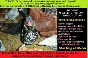 HATCHING EGGS-CHICKS-Laying hens-ducks-turkeys-guineaus-geese