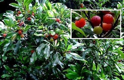 Jamaika-Kirsche exotische große Pflanzen für drinnen Exot essbare Zimmerpflanze ()