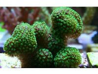 Hard soft coral frags available