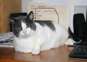 "Adult Male Cat - Domestic Short Hair: ""Bruno"""