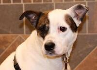 "Adult Female Dog - English Bulldog-Terrier: ""Baylee"""