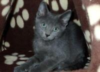 """Baby Female Cat - Russian Blue: """"Willow"""""""