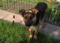 "Young Male Dog - German Shepherd Dog: ""RYLEE"""