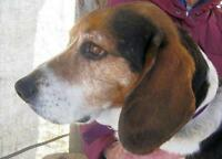 "Adult Male Dog - Beagle: ""Doc"""