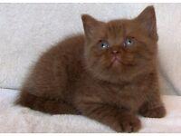 Dark brown kitten