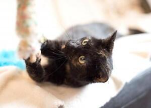 "Young Female Cat - Tortoiseshell-Domestic Short Hair: ""Reese"" London Ontario image 2"