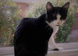 """Young Female Cat - Domestic Short Hair (Black & White): """"Trixie"""""""