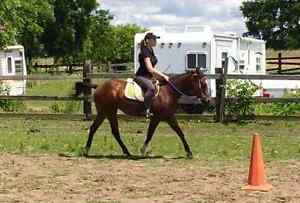 3 yr old, Green broke, qh/paint gelding for sale London Ontario image 1
