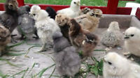 Silkie Chicks For Sale