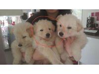 Alsatian Pups 12 Weeks must go asap