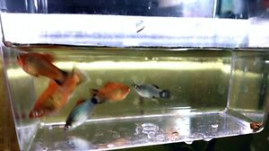 Platy,Guppy,snails,shrimp,microworms,almondleaves,aquarium items
