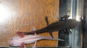 Axolotls- several morphs at Downsview Sunday Kitchener / Waterloo Kitchener Area image 1