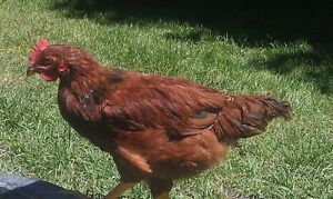 This years Rhode Island Red Roosters