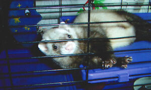 ferret and great cage