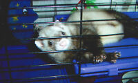 looking for ferret cage with or without ferret