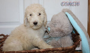 BERNEDOODLES !!! READY NOW *** Reduced Price *****