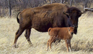 Bison Cow-calf Custom Feeding needed, we buy your Animals
