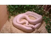Blizzard corn snake and vivarium
