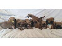 Shih tzu puppies #Ready#