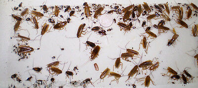 12 Cockroach Spider Bed Bug Scorpion Silverfish  Insect Traps Roach Sticky Traps