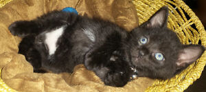 2 cute kittens for sale just in time for xmas Edmonton Edmonton Area image 1