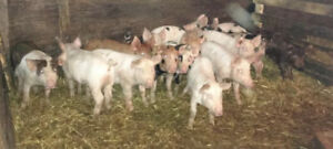 Weanling Pigs For Sale