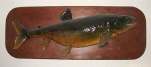 antique trophy lake trout from cree lake, 1961, mounted (34 lb!)
