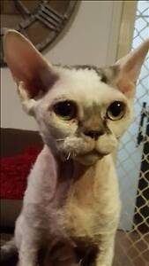RSPCA LOST CAT - RAQI AID973850 - MORAYFIELD - 30/11/16 Morayfield Caboolture Area Preview