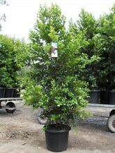 LARGE SIZED HEDGING Plants BACKYARD BLISS Lilly pilly Laurieton Port Macquarie City Preview